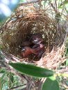 babies bird on nest Royalty Free Stock Photo