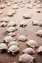 Babies of galapagos giant tortoises largest living species tortoise Royalty Free Stock Image