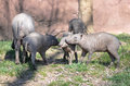 Babirusa family a large of pigs play together Royalty Free Stock Photo
