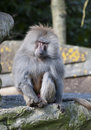 Baboon Stock Photos
