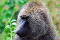 Baboon Royalty Free Stock Photos