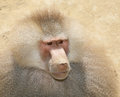 Baboon. Stock Photography