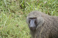 Baboon Royalty Free Stock Image
