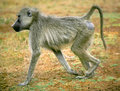 A Baboon Royalty Free Stock Photo