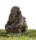 Baboon with a baby on green grass isolated Royalty Free Stock Photography