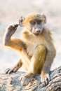 Baboon baby scratching his ear with his foot Royalty Free Stock Photo