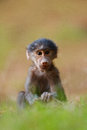 Baboon a baby sits on the forest floor Stock Photo