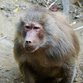 Baboon close up of a alpha male Stock Images