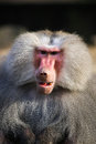 Baboon closeup Royalty Free Stock Photo