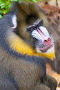 Baboon and colored face portrait Stock Photo