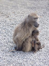 Baboon family Stock Photo