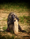 Baboon and Gourde Stock Photo