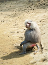 Baboon image of a alpha male Royalty Free Stock Photos