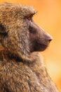 Baboon in masai mara kenya Stock Images