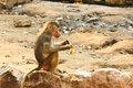 Baboon monkey chilling in the zoo living eating and playing savanna standing on mountains and rocks Stock Photos