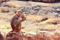 Baboon monkey chilling in the zoo living eating and playing savanna standing on mountains and rocks Royalty Free Stock Photo