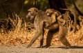Baboon mother with babies in the wild Stock Photo