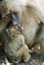 Baboon mother with baby Royalty Free Stock Image