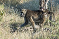 Baboon mother with baby on the back Stock Image
