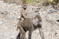Baboon mother with baby on the back babonn protects her Royalty Free Stock Images