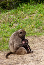 Baboon mother breast feeding her youngster Royalty Free Stock Photos