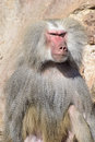 Baboon portrait with menacing look a male hamadryas papio hamadryas Royalty Free Stock Images