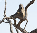 Baboon sentry sitting in tree Stock Photography