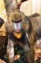 Baboon in the sun Stock Images