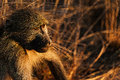 Baboon at sunset Royalty Free Stock Photo