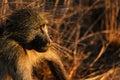 Baboon At Sunset