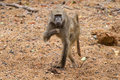 Baboon walking along wet river bed looking for bits to eat Royalty Free Stock Images