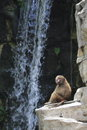 Baboon by waterfall primates in singapore zoo Stock Photos