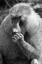 Baboons are african old world monkeys belonging to the genus papio part of the subfamily cercopithecinae the re are five species Stock Image