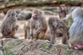 Baboons in the berlin zoo Royalty Free Stock Images