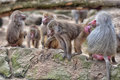 Baboons in the berlin zoo Royalty Free Stock Image