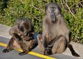 Baboons close up of sitting on the edge of a road Stock Photography