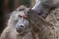 Baboons grooming baboon the head of another baboon looking for ticks cape town south africa Royalty Free Stock Photo