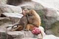 Baboons grooming engaging in social Royalty Free Stock Photo