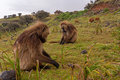 Baboons having dinner on roof of africa semien mountains ethiopia Stock Photo