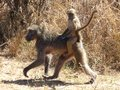 Baboons at kruger the most comfortable way to travel two the national park south africa Royalty Free Stock Photography