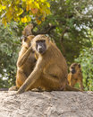 Baboons monkeys in makasutu national park in gambia africa Stock Photos