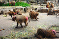Baboons in singapore zoo Stock Image