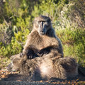 Baboons south africa cape of good hope Royalty Free Stock Images