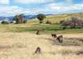 Baboons in tanzania prairie with mountains the background on a cloudy day Stock Photography