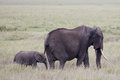 Baby African elephant with its mother's Royalty Free Stock Photo