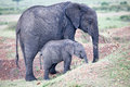 Baby African elephant with its mother Royalty Free Stock Photo