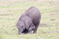 Baby African elephant in Masai Mara Royalty Free Stock Photo