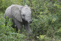 Baby african elephant in natural habitat a small loxodonta africana walks through the bush towards its mother the kruger national Royalty Free Stock Photos