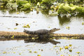 Baby alligator basking on a swamp log in Christmas, Florida. Royalty Free Stock Photo