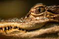 Baby alligator eye face with staring Stock Image